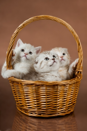 wee: group of white beautiful fluffy little kittens, in basket on brown background