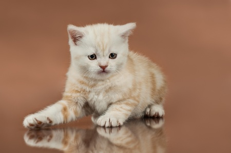 beautiful  kitten, breed scottish-straight,  close portrait  on brown  background Stock Photo - 18379282