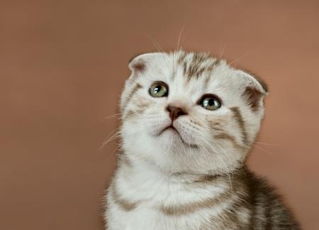 fluffy brown  beautiful  kitten, breed scottish-fold,  close portrait  on brown  background  ,  close  muzzle Stock Photo - 18379289