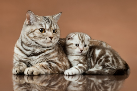 racy: family group of two fluffy  beautiful kitten with mother, breed scottish-fold,  lie on brown  background