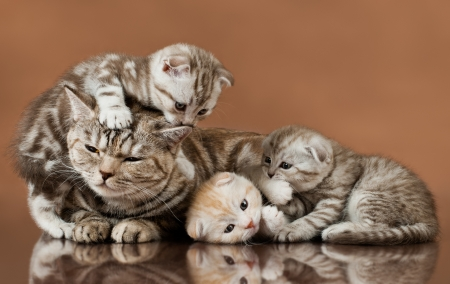 family group of four fluffy  beautiful kitten with mother, breed scottish-fold,  lie on brown  background  版權商用圖片