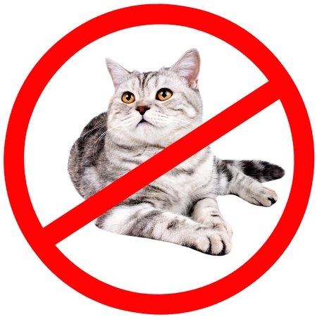 banned: grayl adult cat, breed scottish-straight,  prohibiting sign, isolated