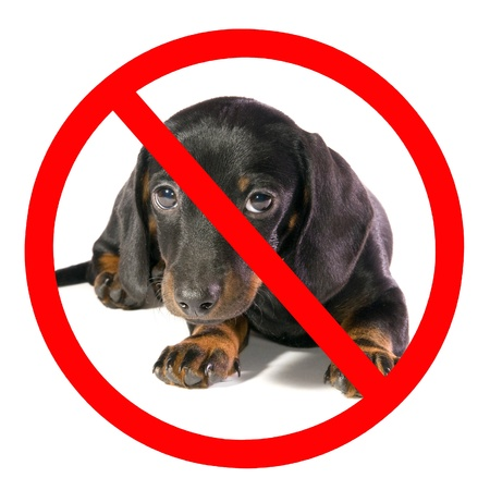 prohibitive: Black dog Lays and looks on camera,  on prohibiting sign,  isolated
