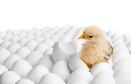 nestling: one yellow chicken nestling on many hens-eggs, on white background,  isolated