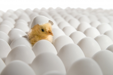 one yellow chicken nestling on many hen's-eggs, on white background,  isolated 版權商用圖片