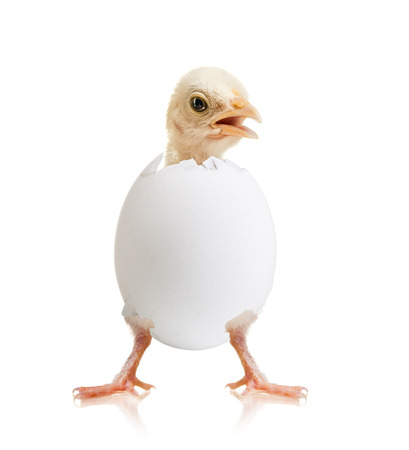 shuck: newborn hatch little chick with egg, on white background, isolated Stock Photo