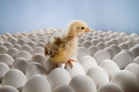 shuck: one yellow chicken nestling on many hens-eggs, horizontal photo Stock Photo