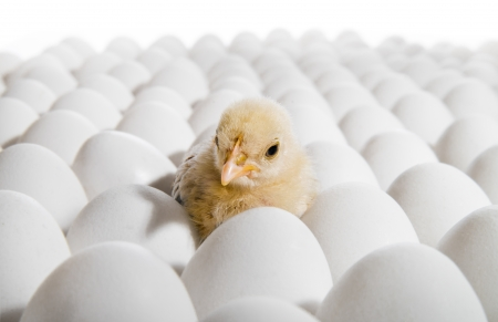 하나의 노란색 닭고기 많은 암탉 - 계란, nestling 가로 사진 스톡 콘텐츠