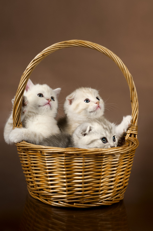 group of white beautiful fluffy little kittens, in basket on brown background photo