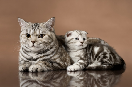 family group of  kitten with mother, breed scottish-fold,  lie on brown  background  photo
