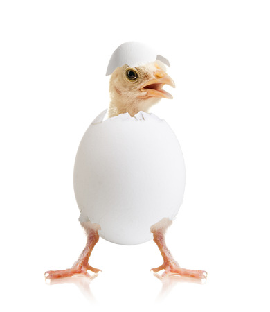 newborn hatch little chick with egg, on white background, isolated Stock Photo