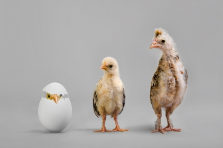 posterity: little nestling chicks  and white egg on grey background