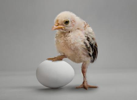 灰色背景: 小さなひよこと灰色の背景上の白い卵