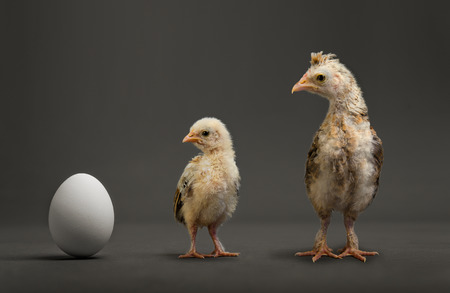 accretion: little chicks and white egg on grey background, growth progress concept