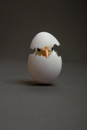 one white egg with chicken, on grey background, hatching