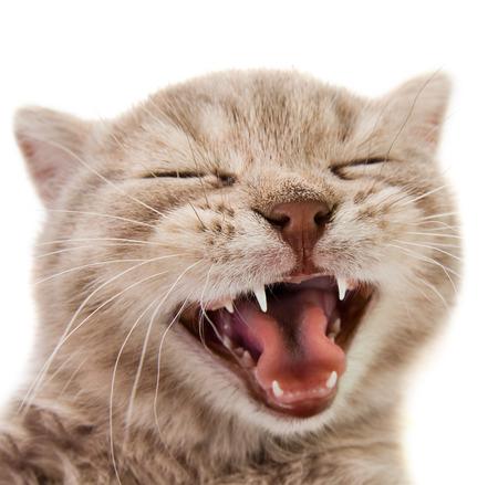 白い背景に、隔離された、クローズ アップの銃口に、笑いが少し子猫します。
