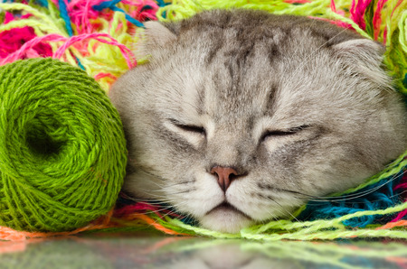 the grey adult cat with  many multi-coloured clew,  on white  background , isolated, sleep photo