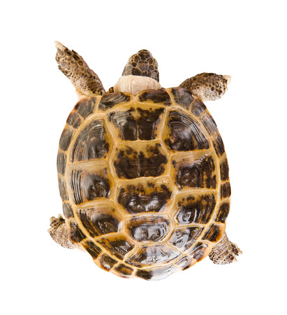 typical tortoise on white background; isolated, top view