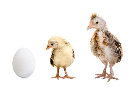 accretion: little nestling chicks  and white egg  on white background, isolated