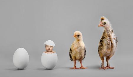 increased: little nestling chicks  and white egg on grey background
