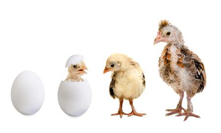 weinig genesteld kuikens en wit ei op een witte achtergrond, geïsoleerd Stockfoto