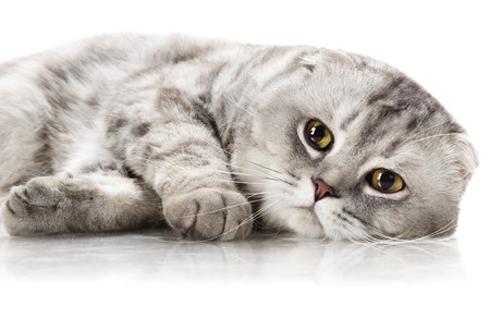 racy: fluffy gray beautiful adult cat, breed scottish-fold,  close up  portrait , on white background, isolated