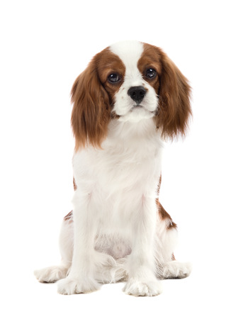 pure-bred dog, puppy Cavalier King Charles Spaniel, lie on white background, isolated Reklamní fotografie - 40936516