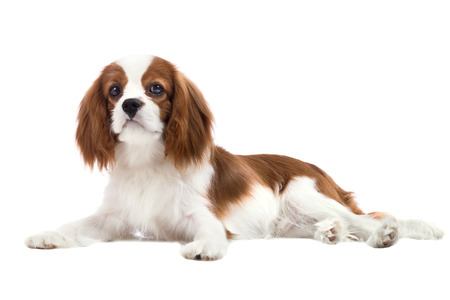 pure-bred dog, puppy Cavalier King Charles Spaniel, lie on white background, isolated