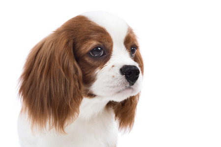 racy: closeup vertical portrait pure-bred dog, puppy Cavalier King Charles Spaniel, on white background, isolated