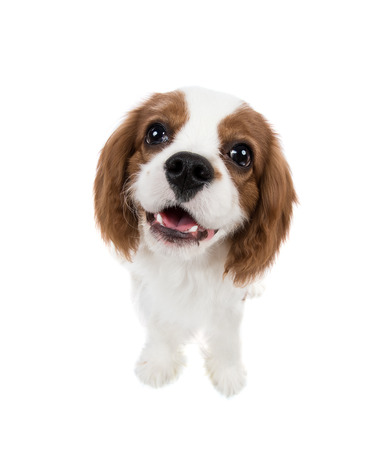 cavalier: closeup vertical portrait pure-bred dog, puppy Cavalier King Charles Spaniel, on white background, isolated