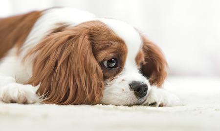 rey: perro de pura raza triste, cachorro Cavalier King Charles Spaniel, mentira, de cerca hocico