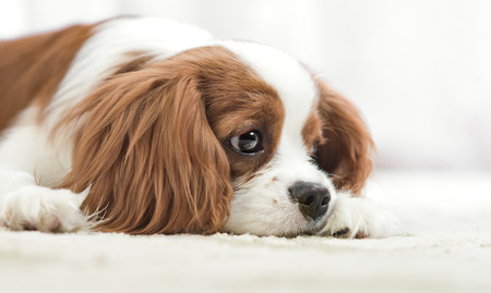 doleful: sad pure-bred dog, puppy Cavalier King Charles Spaniel, lie, close up muzzle