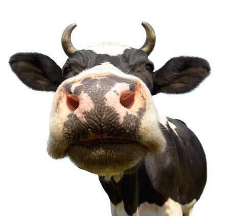 vaca: vaca en el prado, puso el hocico primer plano en la cámara, sobre fondo blanco, aislado