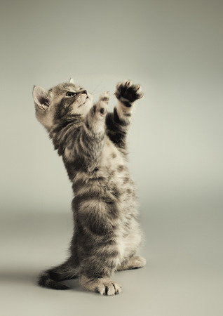 adroitness: fluffy gray beautiful  kitten, breed scottish-straight,  play upright  on grey-blue background Stock Photo