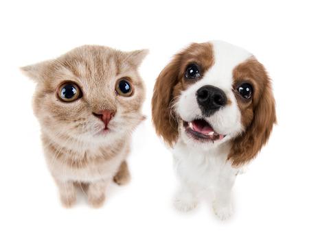 cerrar: el hermoso pequeño gatito de color marrón con el perro, se sientan en el fondo blanco, aislado, hocico primer plano