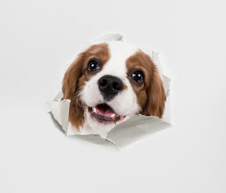 perrito: perro de raza pura, cachorro Cavalier King Charles Spaniel, mirar a través de papel rasgado Foto de archivo