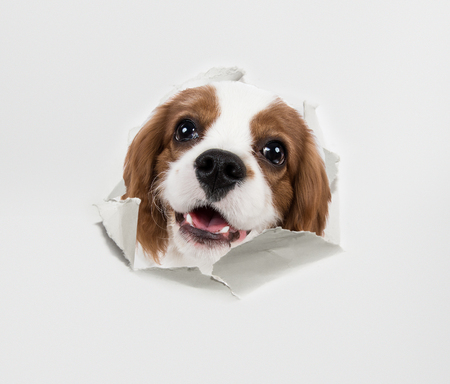 closeup puppy: pure-bred dog, puppy Cavalier King Charles Spaniel, look through torn paper