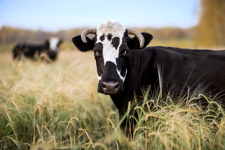 anima: horizontal photo cow on grassland, in summer day