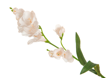 anthesis: single beautiful branch flowering-plant with white flower, on white background, isolated