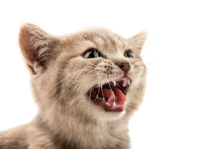 mouth: the little  kitten mewing, closeup  muzzle, on white; background; isolated Stock Photo