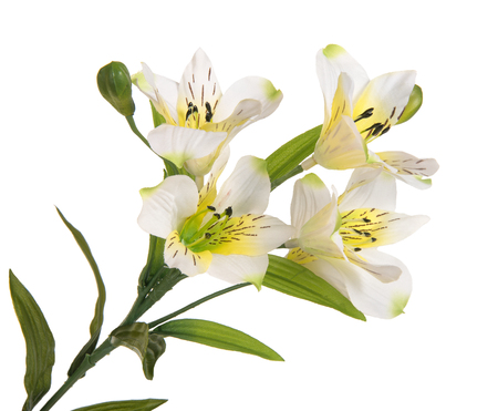 anthesis: bunch beautiful branch flowering-plant with white flower, on white background, isolated