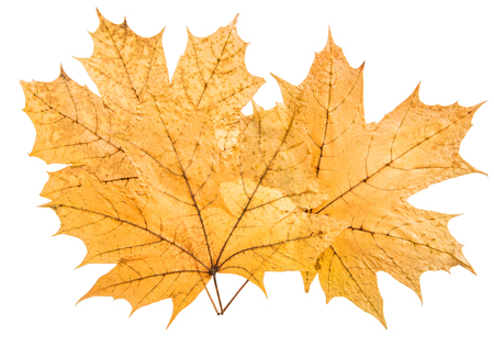 fascicle: bunch yellow maple leaf, on white background; isolated
