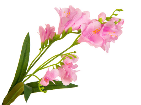 anthesis: bunch beautiful branch flowering-plant with pink flower, on white background, isolated