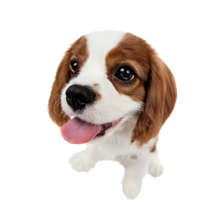 closeup vertical portrait pure-bred dog, puppy Cavalier King Charles Spaniel, on white background, isolated
