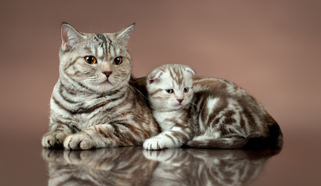family group of three fluffy beautiful kitten with mother, breed scottish-fold, lie on brown background  Stock Photo