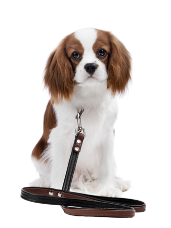 pure-bred dog, puppy Cavalier King Charles Spaniel, sit on white background, isolated