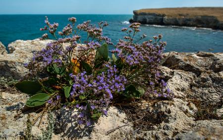 bush beauty blue flower on seashore Black sea ( Crimea, Tarkhannut)  Stock Photo