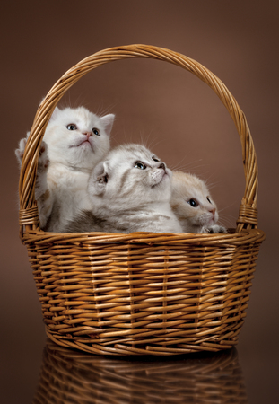 group of white beautiful fluffy little kittens scottish fold, in basket on brown background