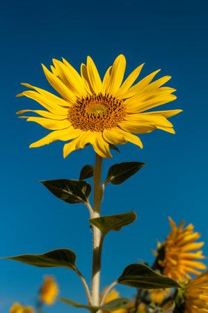 alone beautifull sunflower on blue sky background Stock Photo