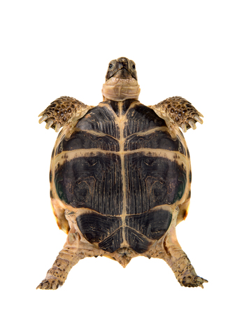 overland digging turtle, on white background; isolated, close up